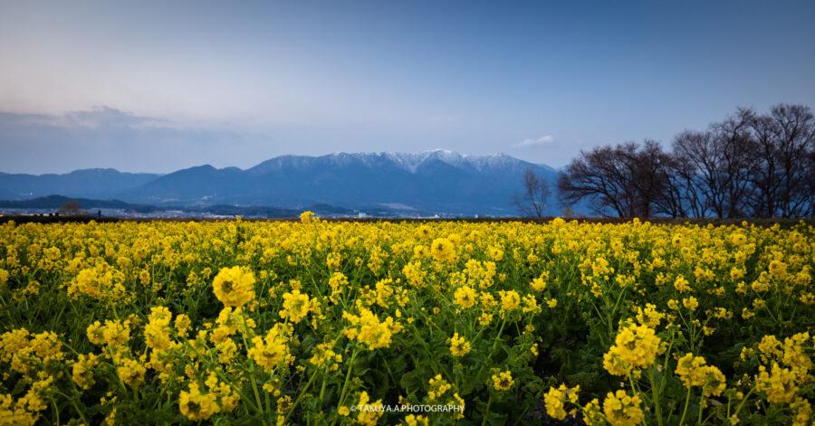 滋賀県の絶景 守山第一なぎさ公園の菜の花