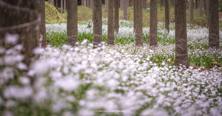 京都府の絶景 シャガ群生地