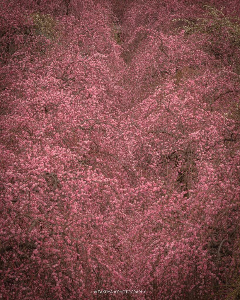 三重県の絶景 いなべ市梅林公園の梅