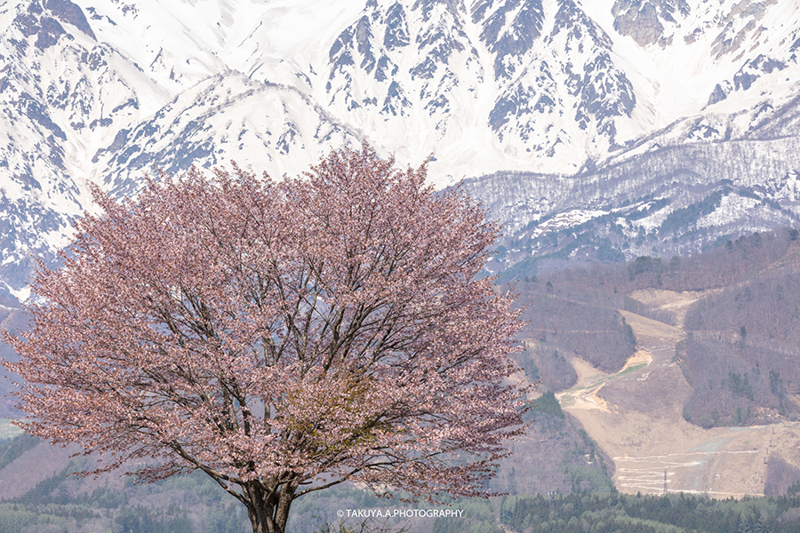 長野県の絶景 野平の一本桜