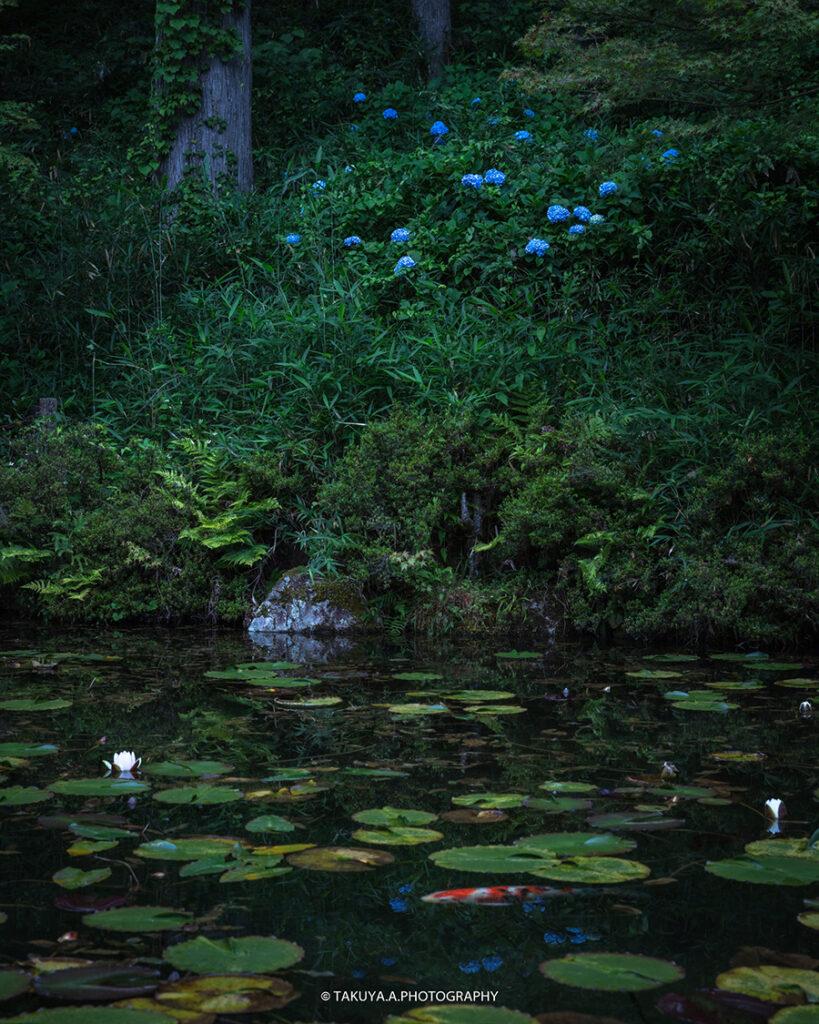岐阜県の絶景 モネの池の睡蓮と紫陽花