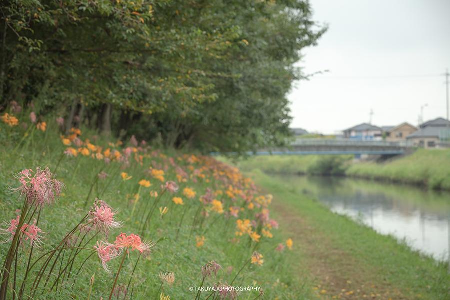 愛知県の絶景 稗田川の彼岸花