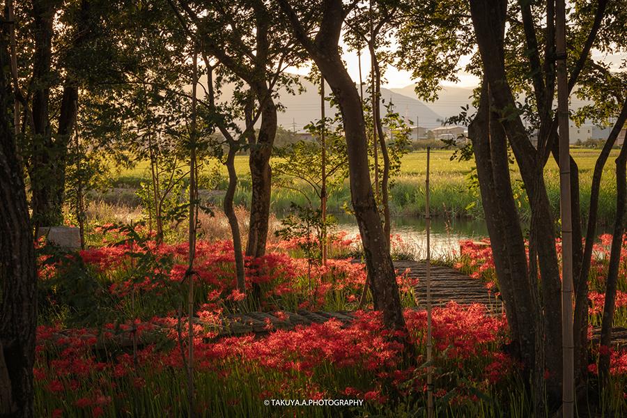 岐阜県の絶景 本巣やすらぎの林の彼岸花