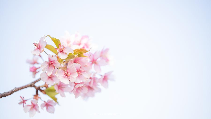 三重県の絶景 笠松河津桜ロード
