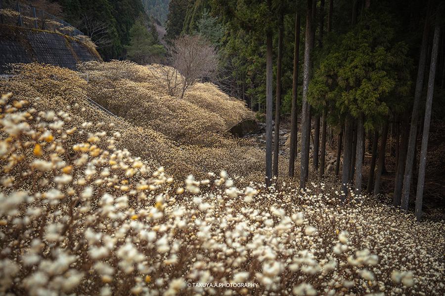 愛知県の絶景 新城市ミツマタ群生地