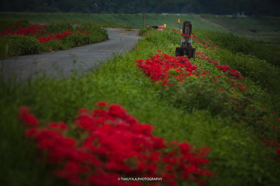 岐阜県の絶景 津谷川堤防の彼岸花