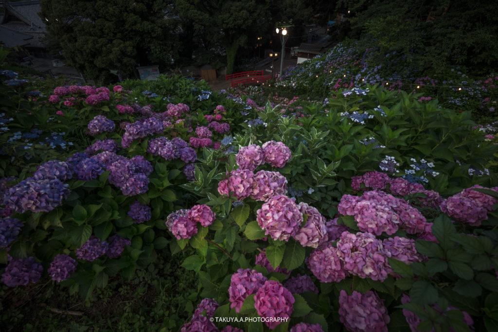 愛知県の絶景 形原温泉あじさいの里の紫陽花