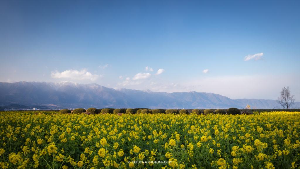 滋賀県の絶景 守山第一なぎさ公園の菜の花 撮影スポット1
