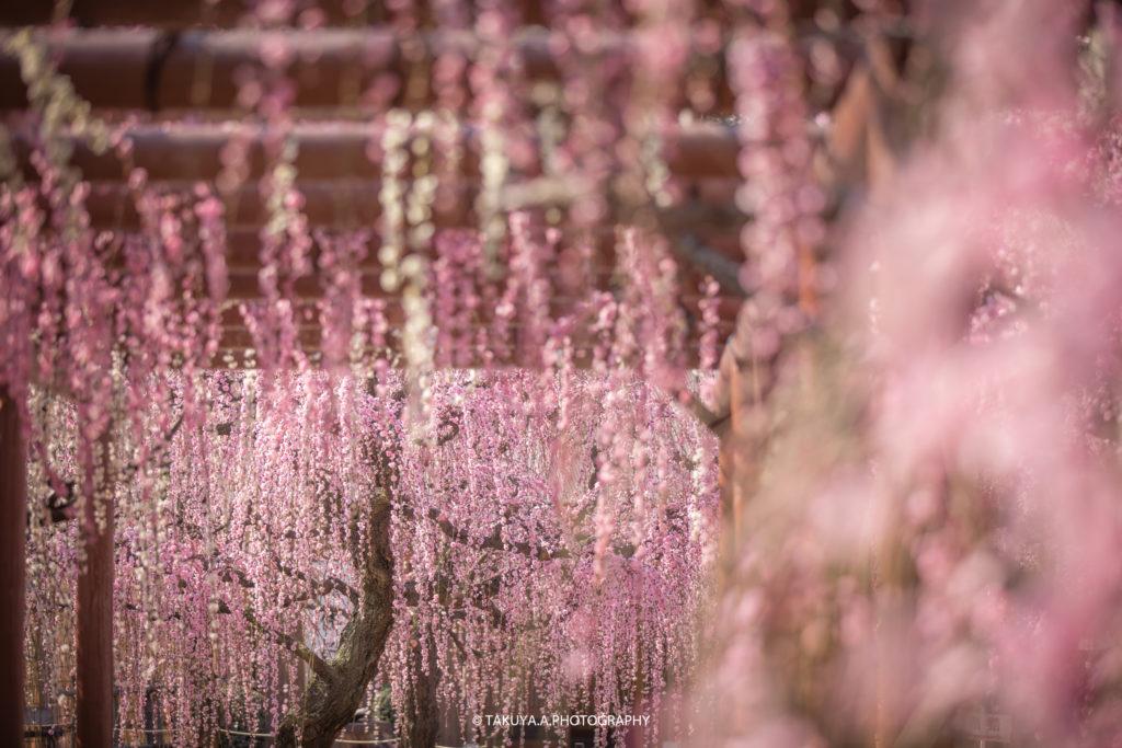 三重県の絶景 結城神社の梅