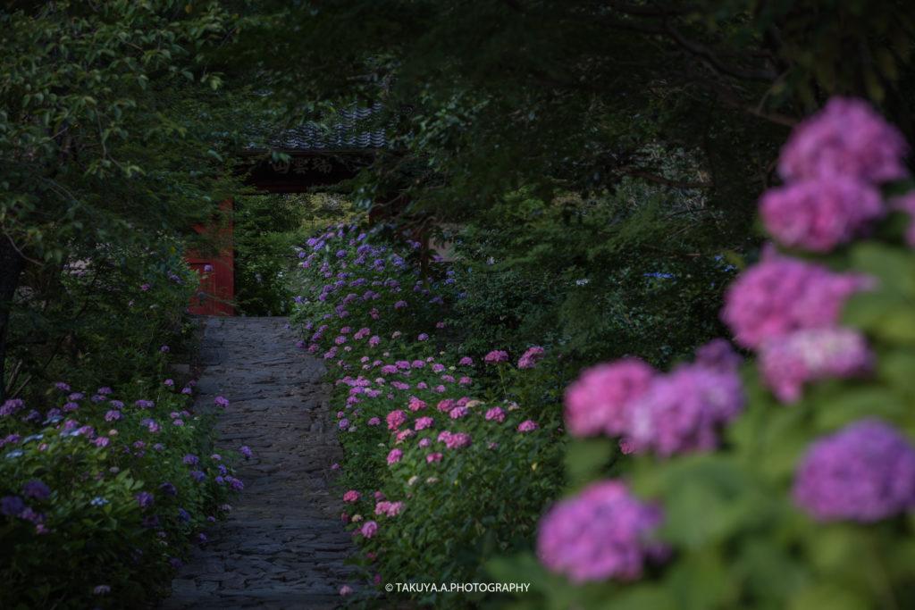 愛知県の絶景 本光寺の紫陽花1