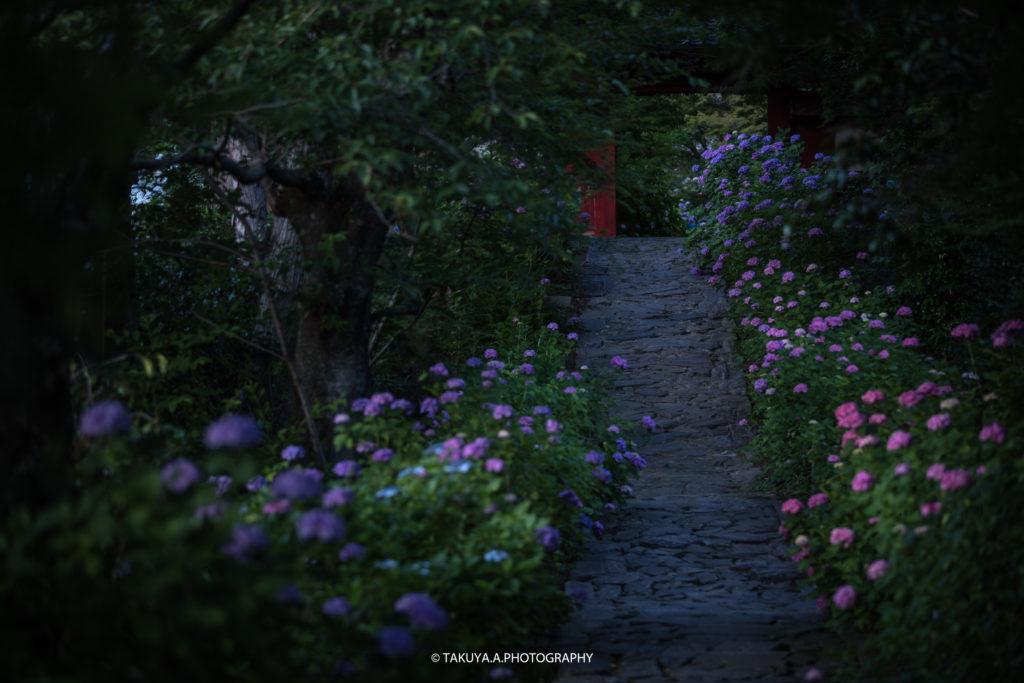 愛知県の絶景 本光寺の紫陽花2