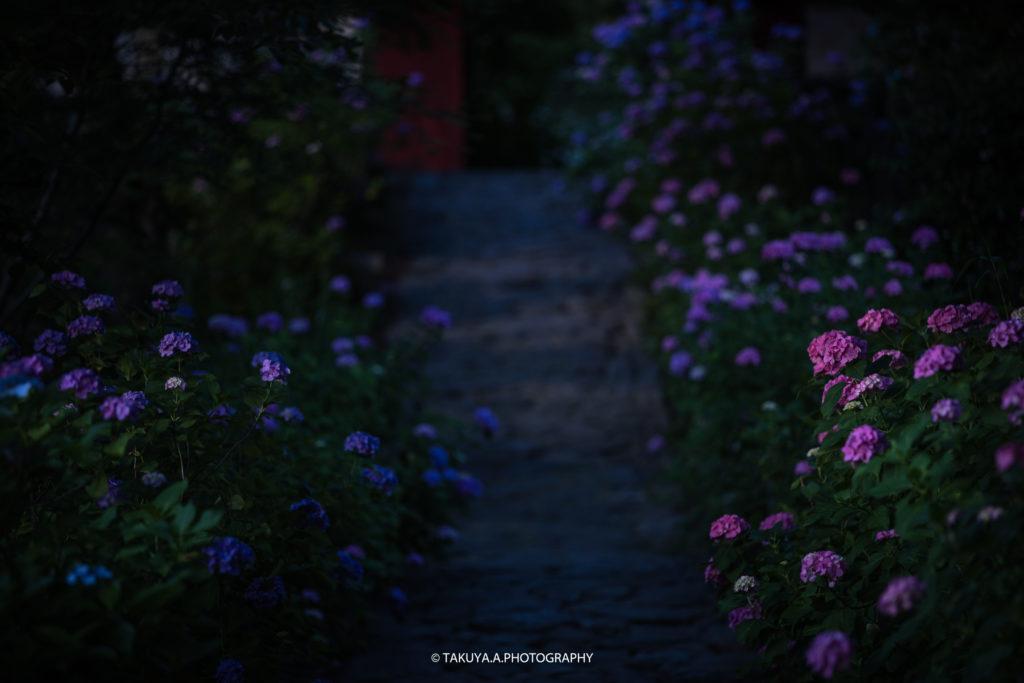 愛知県の絶景 本光寺の紫陽花3
