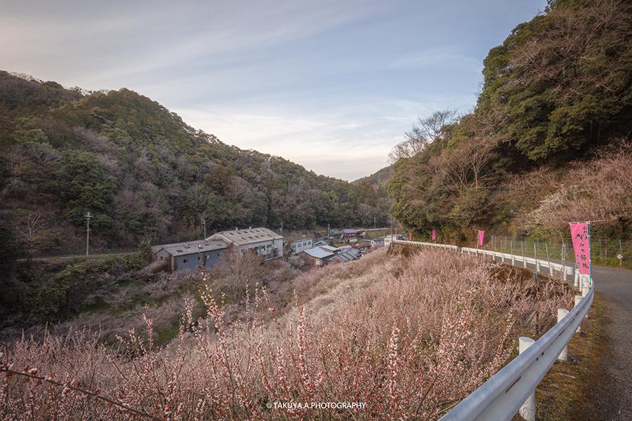 奈良県の絶景 賀名生梅林の梅 撮影スポット