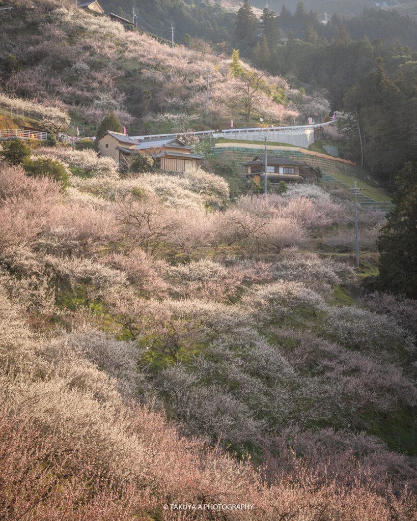 奈良県の絶景 賀名生梅林の梅