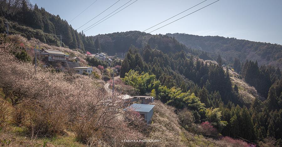 奈良県の絶景 広橋梅林の梅