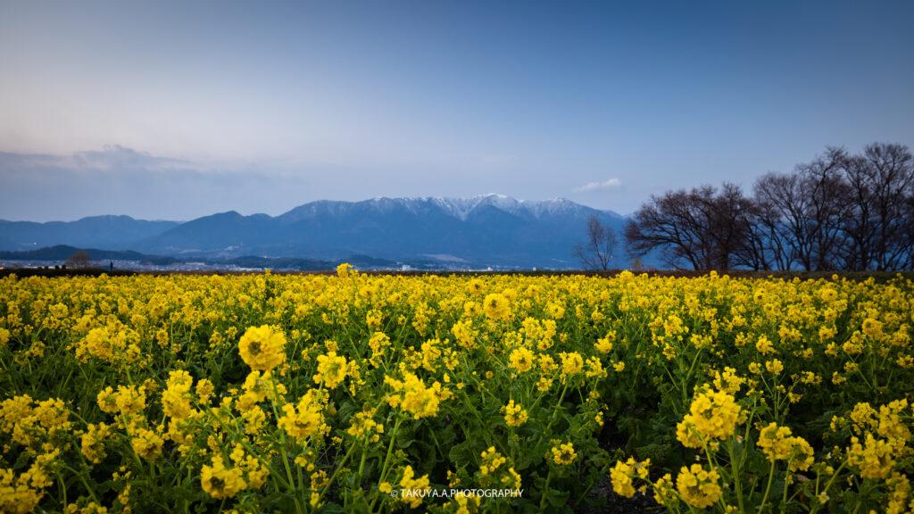滋賀県の絶景 守山第一なぎさ公園の菜の花 撮影スポット4
