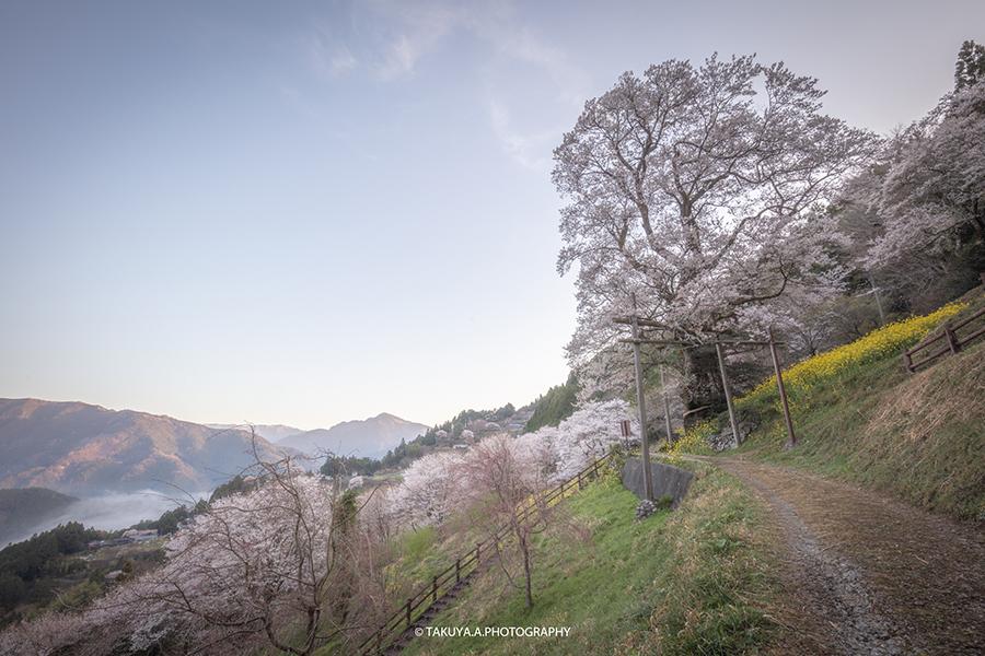 高知県の絶景 ひょうたん桜