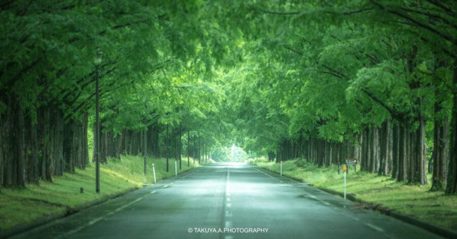 滋賀県の絶景 メタセコイア並木の新緑