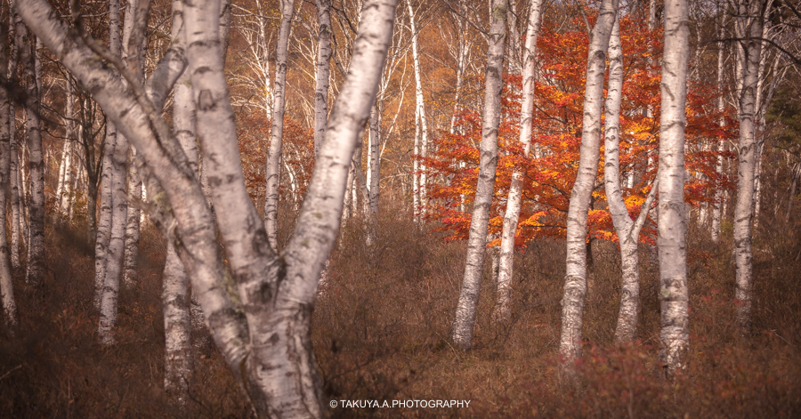 長野県の絶景 八千穂高原白樺群生地の紅葉