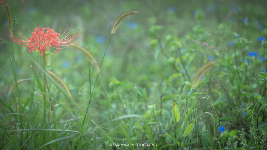 奈良県の絶景 九品寺の彼岸花と朝日